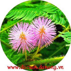 Phấn hoa trinh nữ